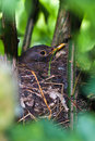 Blackbird breeding in the nest Royalty Free Stock Image