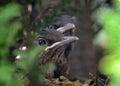 Blackbird chicks two still in nest Royalty Free Stock Photography