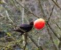 Blackbird female in park 3
