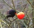 Blackbird female in park 2