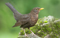 Blackbird female on a with snow covered stone Royalty Free Stock Image