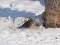 Blackbird female in snow feeding turdus merula Stock Image
