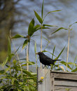 Blackbird on the fence. Royalty Free Stock Image