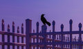 Blackbird on fence at nightfall a is perched upon a traditional picket across many cultures the is understood to symbolize mystery Royalty Free Stock Photos