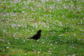 Blackbird in a flower field european common turdus merula meadow Royalty Free Stock Image
