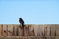 Blackbird On Garden Fence Royalty Free Stock Photo