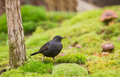 Blackbird on green moss a turdus merula stands a thick layer of which is characteristic for the humid lithuanian forest Royalty Free Stock Photo