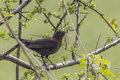 Blackbird in hawthorn carrying nesting material a female a hedge Stock Images