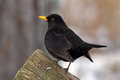 Blackbird a male common turdus merula also called eurasian or simply the male is black and have both yellow Stock Image