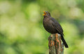 Blackbird male sings at springtime Royalty Free Stock Images