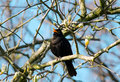 Blackbird a male sitting in a treetop chirping Royalty Free Stock Photography