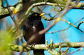 Blackbird a male sitting in a treetop chirping Stock Photos