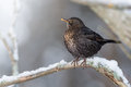 Blackbird in natural winter habitat female turdus merula Stock Photography