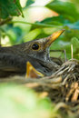 Blackbird nesting Royalty Free Stock Image
