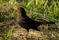 Blackbird in a park at dawn looking back with curiousity Stock Image