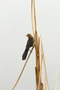 Blackbird perched on reed single female a Stock Images