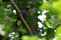 Blackbird singing Royalty Free Stock Photos