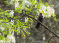 Blackbird singing on a tree common turdus merula sings perched high in spanish riverine forest Royalty Free Stock Images