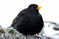 Blackbird sitting spruce branch Royalty Free Stock Images