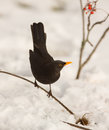 Blackbird with snow