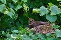 Blackbird on tree on nest Royalty Free Stock Photo