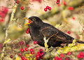 Blackbird (Turdus merula) Royalty Free Stock Photos