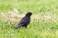 Blackbird (turdus merula) Royalty Free Stock Images