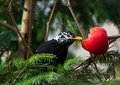 Blackbird turdus merula with strange white feathers eating red apple spotted in garden austria tyrol Stock Photos
