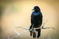 Blackbird on twig close up of a perching a merritt island titusville brevard county florida usa Royalty Free Stock Images