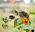Blackbirds and Sunflowers Royalty Free Stock Photos