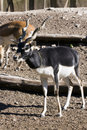 Blackbuck (Antilope cervicapra) Stock Photo