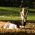 Blackbuck or Indian antilope Royalty Free Stock Image