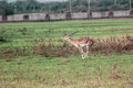 Blackbuck leaping a black buck at nature conserve of india Royalty Free Stock Photography