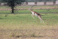 Blackbuck leaping a black buck at nature conserve of india Stock Photography
