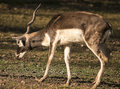 Blackbuck with one antler image of a full grown Stock Images