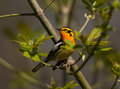 Blackburnian Warbler Royalty Free Stock Photo
