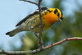 Blackburnian Warbler Royalty Free Stock Photo