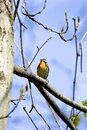 Blackburnian Warbler  700836 Royalty Free Stock Photo