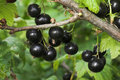 Blackcurrants on the bush Royalty Free Stock Image