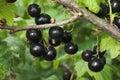 Blackcurrants on the bush Royalty Free Stock Photo