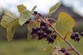 blackcurrants in a garden Royalty Free Stock Photo