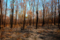 Blackened trees and bushland after bushfire Royalty Free Stock Photo