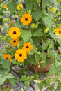 Blackeye susan flowers in a pot Stock Photo