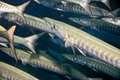 Blackfin barracuda  Stock Image