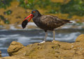 Blackish oystercatcher haematopus ater a dark shorebird with red beak and whitish legs eating a sea urchin in paracas national Stock Photo