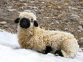 Blacknose  lamb lying Royalty Free Stock Images