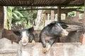 Blacks pigs raising on a farm in brazil Royalty Free Stock Photography