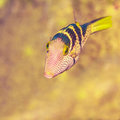 The blacksaddle filefish Royalty Free Stock Image