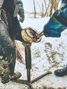 Blacksmith with asistant are removing worn out horseshoes Royalty Free Stock Photo