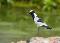 Blacksmith lapwing voicing opinion a seeming to voice his from a podium with blurred green background Royalty Free Stock Photo